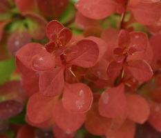 Orange Rocket Japanese Barberry http://errantgamers.com/4/berberis-orange-rocket