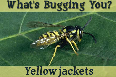 yellowjackets2007.jpg