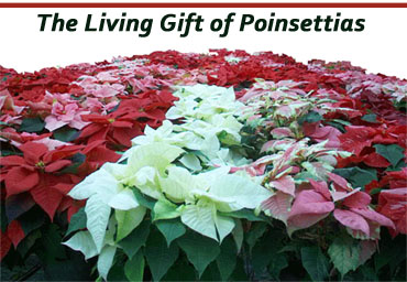 poinsettias2007.jpg